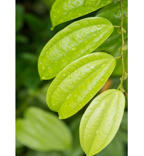 Cinnamon Leaf Unrectified Essential Oil