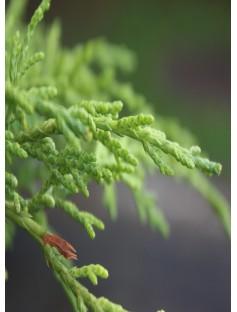 Cypress Leaf Provence Essential Oil