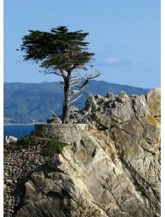 Cypress Wild Essential Oil
