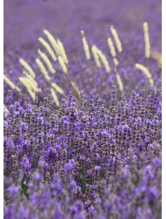 Lavender Spike Spanish Genuine Essential Oil