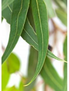 Peppermint Eucalyptus Essential Oil