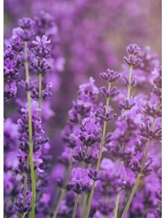 Lavender BP 80