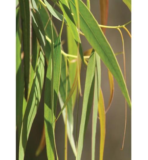 Eucalyptus BP 80/85