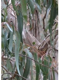 Eucalyptus Radiata Organic Essential Oil