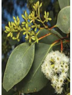 Eucalyptus Australiana Essential Oil