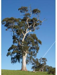 Eucalyptus Blue Gum Essential Oil