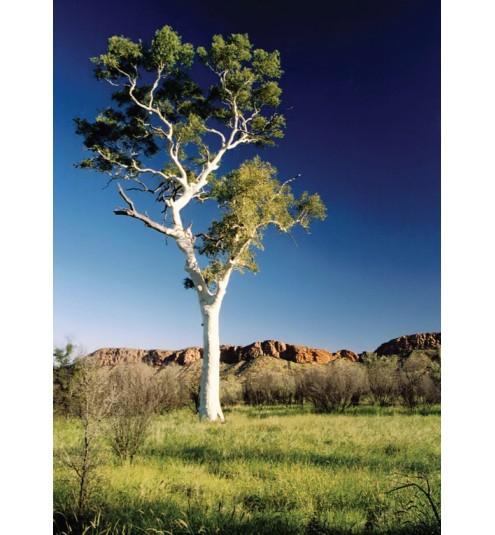 Eucalyptus Blue Mallee Bush Still Essential Oil