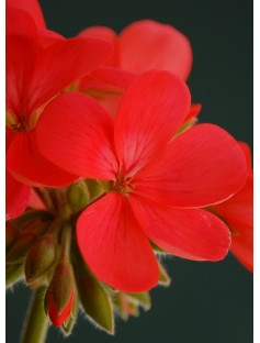 Geranium Bourbon Reunion Essential Oil