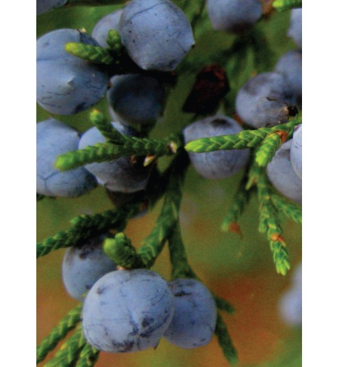 Juniper Berry Wild Himalayan Essential Oil