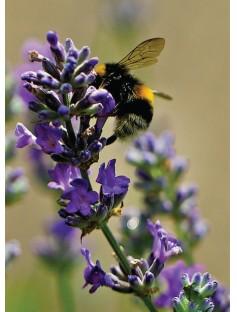 Lavender BP