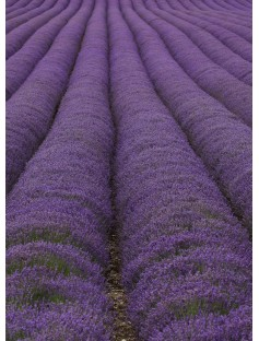 Lavender Oil Mt Blanc 40/42