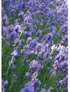 Lavender Floral Water