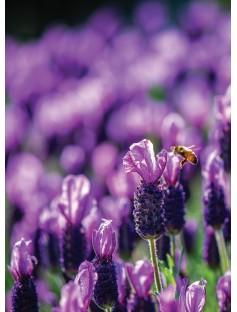 Lavender ORGANIC Floral Water