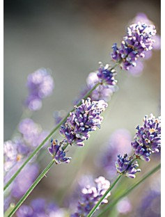 Lavender French Population Essential Oil