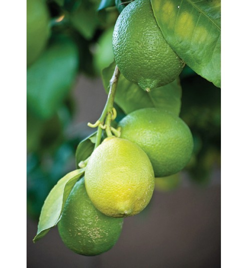 Lime West Indian Distilled Essential Oil