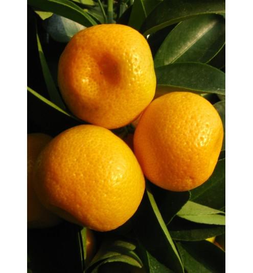Mandarin Australian Cold Pressed Essential Oil
