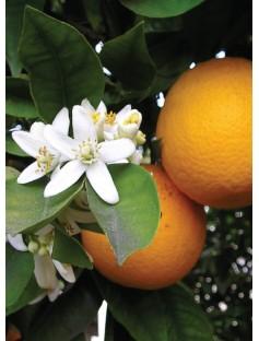 Mandarin Sicilian Cold Pressed Essential Oil