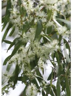 Melaleuca Ericifolia Essential Oil
