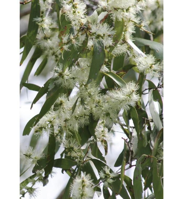 Auroma Melaleuca Ericifolia Essential Oil