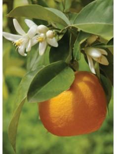 Orange Navel Cold Pressed Essential Oil