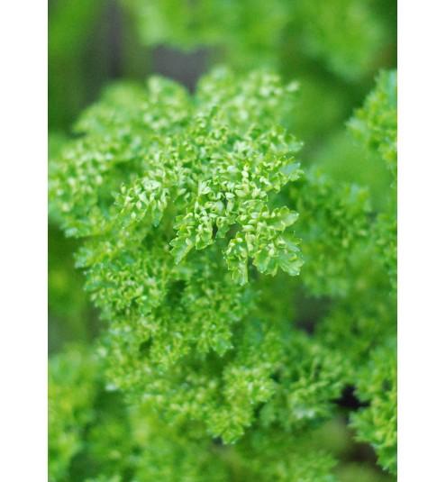 Parsley Herb Essential Oil
