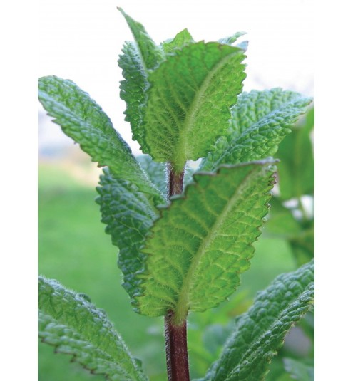 Peppermint Arvensis Whole Essential Oil