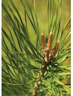 Pinus Sylvestris Essential Oil
