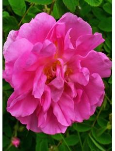 Rose Damascena 3% in Jojoba