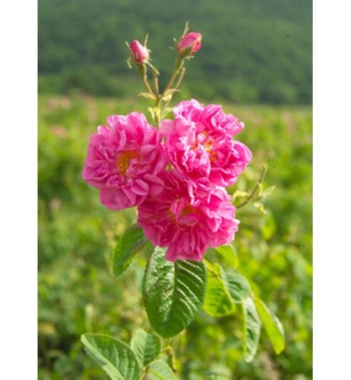 Rose Otto Bulgarian Essential Oil