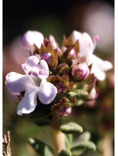 Thyme Red Essential Oil