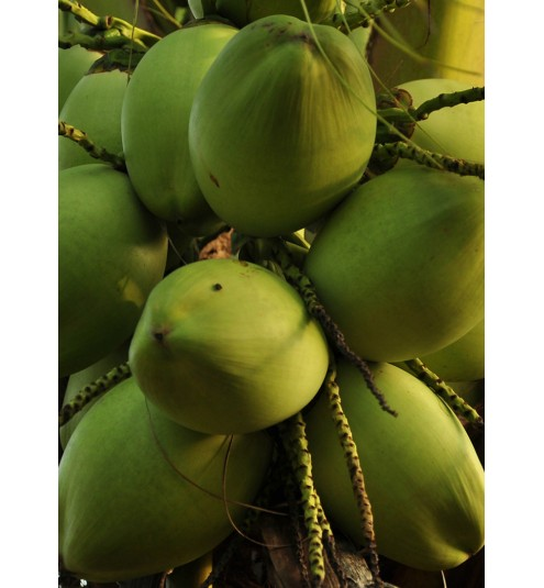 Coconut Refined Oil