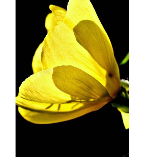 Evening Primrose Virgin Organic