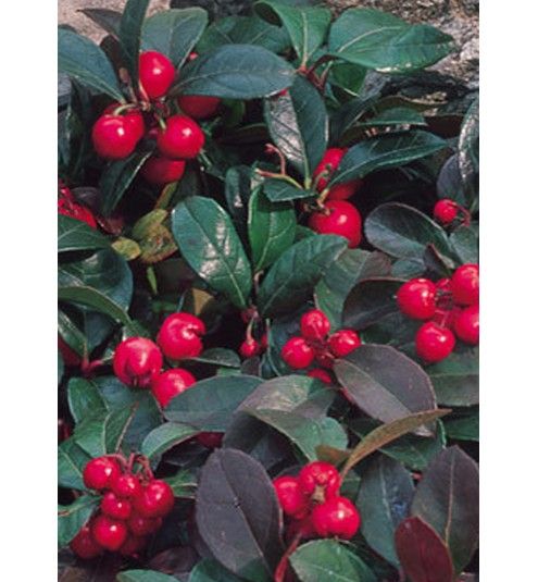 Wintergreen Natural Chinese Essential Oil