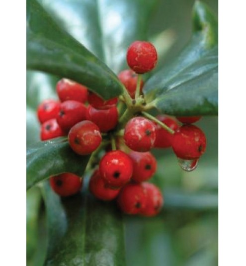 Wintergreen Gaultheria Organic Essential Oil