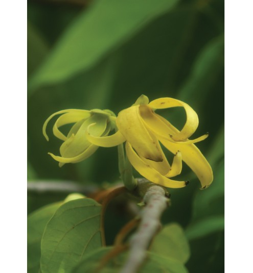 Ylang Ylang Complete Organic Essential Oil